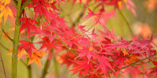 Maple red leaves Royalty Free Stock Photography