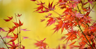 Maple red leaves Stock Photography
