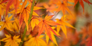 Maple red leaves Stock Photos