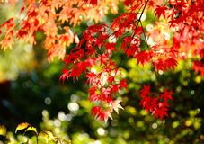 Maple. Red leaves in the fall are even redder than flowers in the spring Stock Image