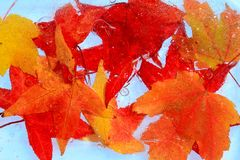 Maple red leaves frozen into the ice cold concept Royalty Free Stock Photos