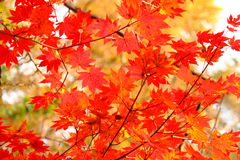 Maple. Red maple leaves in late autumn, attract throngs of visitors Stock Photography