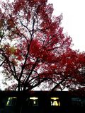 A maple with red leaves. The leafy plant is alive and well.In the twilight, the maple is filled with red leaves, like petals all over the sky, very beautiful Royalty Free Stock Photo