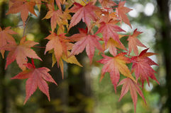 Maple. Red Maple Leaves in the morning Stock Photos