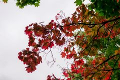 Maple with red leaves on the sky background, autumn theme. Maple tree with red leaves on the sky background, autumn theme Stock Photo
