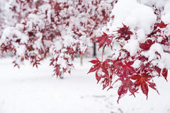 Maple red leaves. Snow piled up on painted maple red leaves in autumn royalty free stock photo