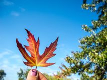 Maple red-orange leaf on the background of sky. The leaf is held by 2 female fingers with pink nails. Maple red-orange leaf on the background of sky. The leaf royalty free stock photo