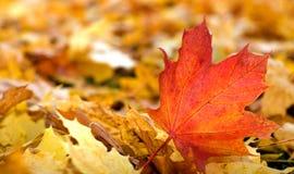 Maple red-orange leafs. Maple red, orange, yellow leafs (shallow dof stock photo