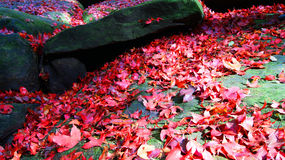 Maple red in thai garden. Maple red on stone garden Royalty Free Stock Photos