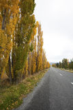 The maple beside the road. In New Zealand Stock Photo