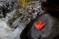 Maple on rock. And water fall Stock Photos