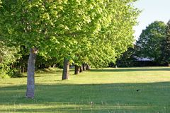 Maple Row. Row of mature maple trees in a park setting stock photography