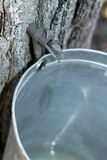 Maple Sap. Maple Tree Tapped To Harvest Maple Syrup Sap Into A Metal Bucket Stock Photography