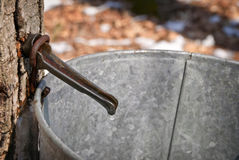 Maple Sap Bucket Stock Photo