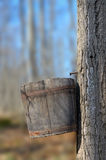 Maple Sap Bucket. Wood bucket on maple tree to collect sap for making sugar Stock Photo