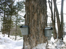 Maple sap buckets Stock Image
