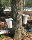 Maple sap buckets. Two buckets with covers attached to maple tree gathering sap Stock Photography