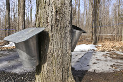 Maple sap buckets. Installed on a maple tree to collect the sugar sap in spring Royalty Free Stock Photos