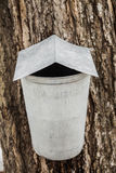Maple Sap buckets on trees in spring Royalty Free Stock Image