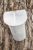 Maple Sap buckets on trees in spring Stock Photo