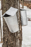 Maple Sap buckets on trees in spring Royalty Free Stock Images