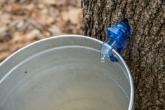 Maple Sap Dripping Royalty Free Stock Photos