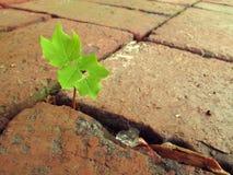Maple sapling stock photo