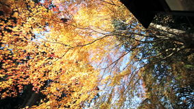 Maple season at fall stock video