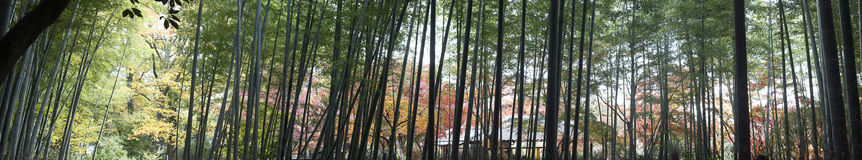 Maple season at fall, Japan Royalty Free Stock Image