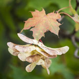 Maple Seed Capsules. Close up picture of Maple seed capsules at autumn Stock Image