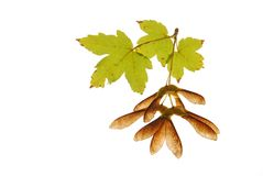 Maple seed and leaves. On white background stock photo