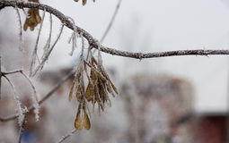 Maple seed spouts-helicopter. In the snow dress Royalty Free Stock Photography