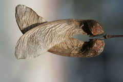 Maple seed symmetry. Photo of a symmetry and texture of maple seeds Stock Images