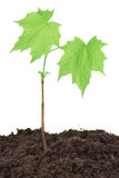 Maple Seedling Royalty Free Stock Photos