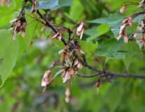 Maple seedling helicopters Royalty Free Stock Images