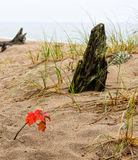 Maple seedling with red leaves on sandy beach Stock Image
