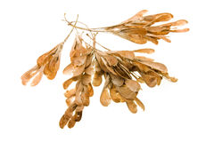 Maple seeds. A quantity of the dried up seeds of a maple Royalty Free Stock Images