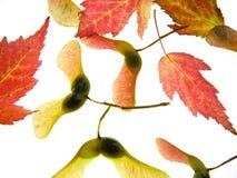 Maple seeds Stock Image