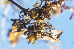 Maple seeds. On a blue sky background Stock Photography