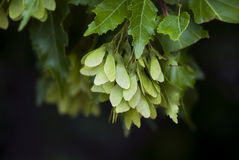 Maple Seeds. Green maple seeds hang onto their branch in summertime Royalty Free Stock Images