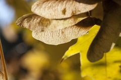 Maple seeds. The lower part of several maple seeds against the background of the yellowing foliage , autumn nature and details closeup Stock Photos