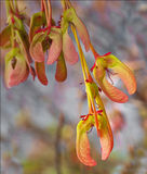 Maple seeds in spring. Bunch of pink and green maple seeds hanging from their stems.  Seeds look slightly fish-like Stock Image