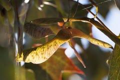 Maple seeds. Sunlight-lit dry maple seeds, autumn warming stock image