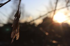 Maple seeds at sunset. Maple seeds hang on the branch and glow in the sun`s rays at sunset Stock Image