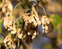 Maple seeds on the tree. In the park in nature Royalty Free Stock Photo