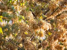 Maple seeds on the tree. In the park in nature Royalty Free Stock Photos