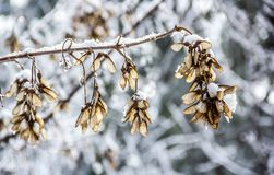 Maple seeds in winter. Maple seeds and snow. Samaras fruit of maple. Concept seasons royalty free stock photo