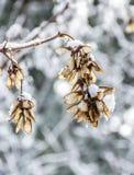 Maple seeds in winter. Samaras fruit of maple. Concept seasons stock photo