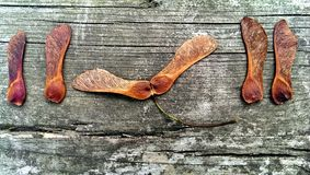 Maple seeds. On wood Stock Images
