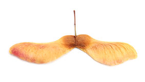 Maple seeds Stock Photos
